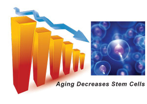 Aging Decreases Stem Cells
